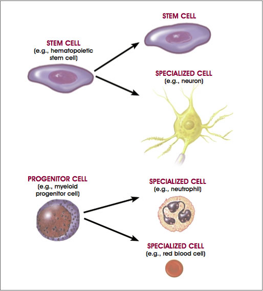progenitor cells vs stem cells
