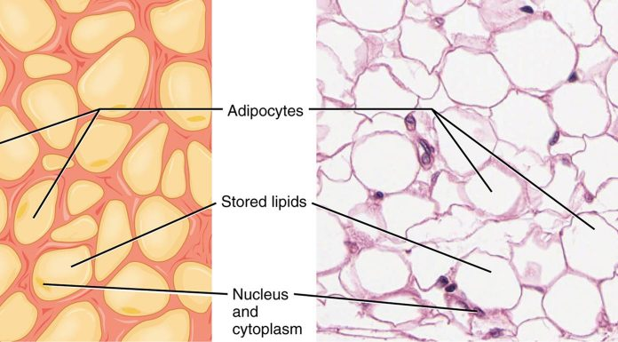 Adipose Stem Cell Therapy